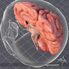 3d Human Anatomy 3d Model Human Brain Anatomy Cgtrader
