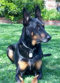 belgian shepherd vs doberman doberman shepherd dog breed information and pictures