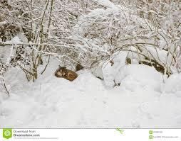 wolf in skansen open air museum in stockholm in sweden in winter