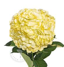 bulk hydrangeas painted hydrangeas buy bulk flowers free shipping bloomingmore