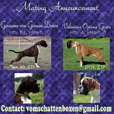 boxer dog european 10 best european boxer dogs images on pinterest boxer dogs