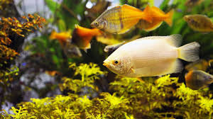 freshwater fish how to keep koi in a fish tank howcast the best how to videos
