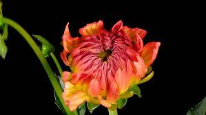 fast blooming flower stock footage video shutterstock