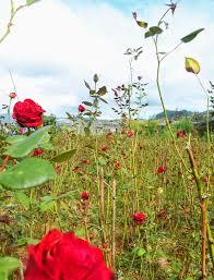 the enduring bahong rose farm of benguet turista trails