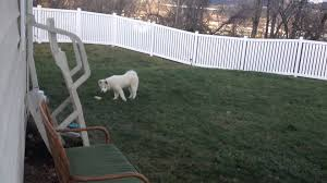 american eskimo dog vs keeshond cute samoyed and keeshond puppies playing in the yard youtube