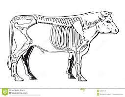 cattle skeleton stock vector image 40657191