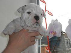 american eskimo dog or puppy for sale in mn litter of 3 american eskimo dog puppies for sale in cannon falls