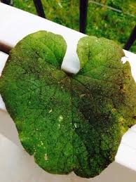 Plant Diseases Identification - pest and disease identification on cucumber plant requested