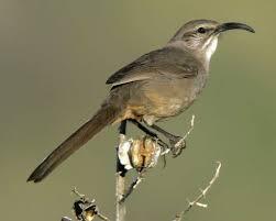 California Backyard Birds by California Thrasher Audubon Field Guide