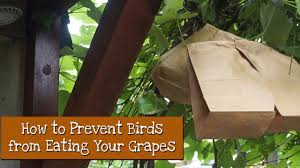 Scare Birds Away From Patio by How To Keep Birds From Eating Your Grapes