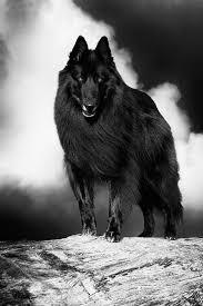 belgian sheepdog intelligence belgian shepherd groenendael 3 photograph by wolf shadow photography