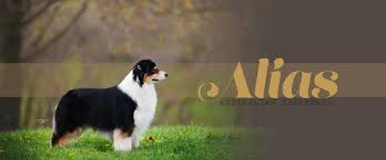 australian shepherd kidney disease alias australian shepherds and design home facebook