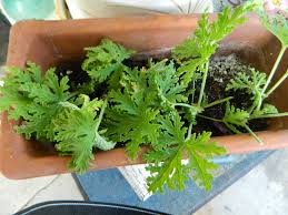plants that keep mosquitoes away growing citrosa geranium is it really a mosquito repellent