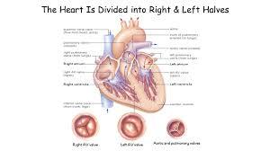 Heart Anatomy Youtube Human Biology Anatomy Of The Heart Reading Human Biology Starr