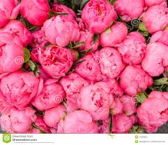 peonies flowers bouquet of blooming peonies stock photos image 31068903