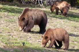 Wyoming wildlife tours images Grizzlies grazing in grand teton national park in jackson hole jpg