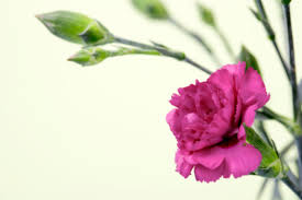 carnations flowers how to get seeds out of carnation flowers hunker
