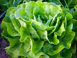 how to grow lettuce for almost year round harvests