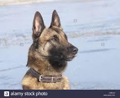 belgian shepherd lakenois belgischer schaeferhund malinois belgian shepherd dog stock