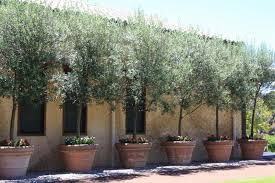 olive trees in pots we carry artificial olive trees check out