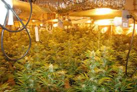 Beginners How To Grow Just by Hydroponic Marijuana Grow Guide