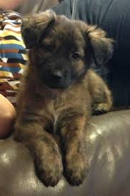 belgian shepherd labrador retriever mix best 20 black german shepherd puppies ideas on pinterest black