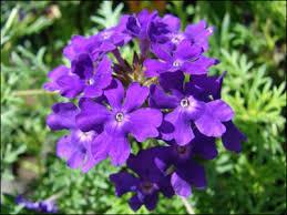 verbena flower plant id flowers and foliage verbena florida master gardener