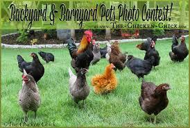 the chicken backyard u0026 barnyard pets photo contest get in