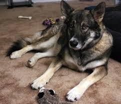 belgian shepherd x alaskan malamute alaskan shepherd dog breed information and pictures