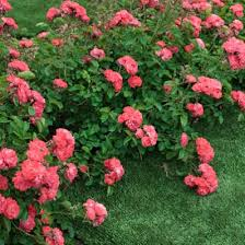 drift roses coral drift for sale brighter blooms nursery