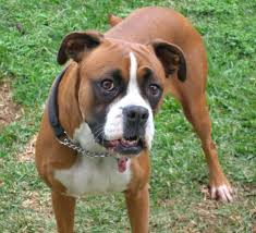 boxer dog with full tail rescue stories