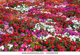 impatiens flowers impatiens flowers stock images royalty free images vectors