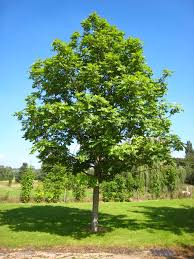file fraxinus excelsior tree jpg wikimedia commons