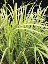 buy ornamental grasses free shipping 99 99