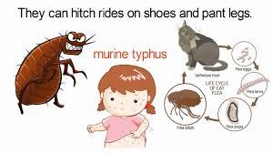 portland pest control flea fighting tips youtube