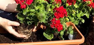 balkon blumen balkonblumen tipps zur pflanzung und pflege herold at