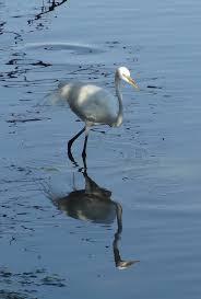 heron meaning 82 best great blue heron images on pinterest blue heron herons