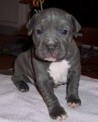 colby american pitbull terrier american staffordshire terrier united states farm use