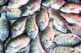 Backyard Fish Farming Tilapia Backyard Tilapia Farming How To Sratr A Tilapia Farm In Your
