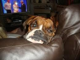 boxer dog female ruby u2013 3 year old female boxer dog dogs pinterest female