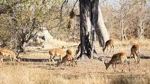 leopard attack leopard jumps from tree to ambush impala