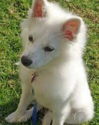 american eskimo dog eating habits love the eskie could be quincy american eskimo spitz