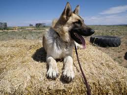 belgian shepherd for sale south africa cqb k 9 personal protection dogs cqb k 9 personal protection