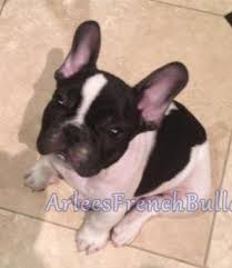 do frenchies shed arlees french bulldogs