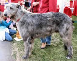 afghan hound ireland irish wolfhound hound dog breed guide information and pictures