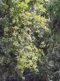 Dhaira Loranthus Globosus