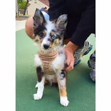 australian shepherd puppies near me mini toy puppies closed 17 photos u0026 23 reviews pet stores