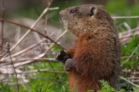 groundhog elevates science superstition ucla