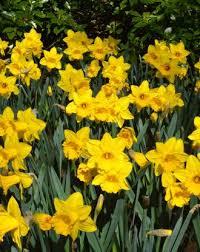 wholesale daffodil bulbs bulk daffodils dutchgrown