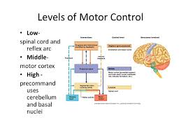 Motor Reflex Arc Peripheral Nervous System Pns Include The Following U2013 Sensory